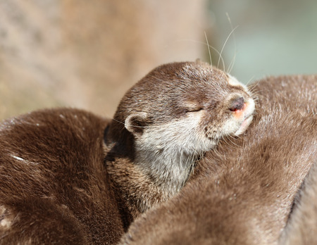 Close up of an Oriental Short Clawed Otter cuddling
