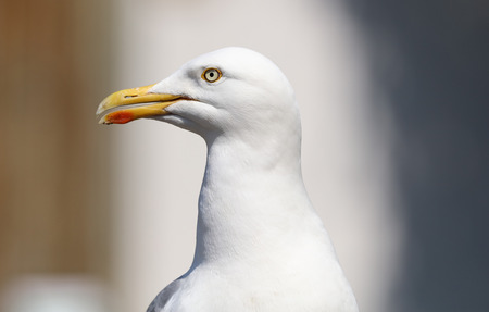 Close up of a Seagull with blurred background Фото со стока
