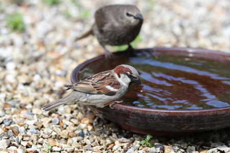 Young Starling and House Sparrow having a drink in a water bowl