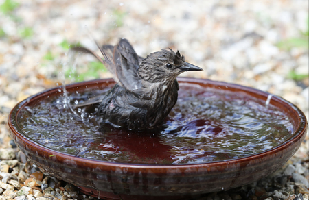 Close up of a young Starling taking a bath in a water bowl