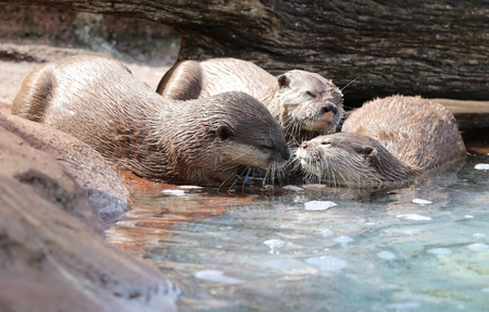 Oriental Short Clawed Otters cuddling and playing