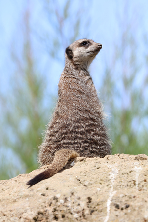 Close up of a Meerkat on sentry duty to protect the family
