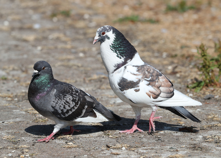 A pair of Feral Pigeons courting Фото со стока