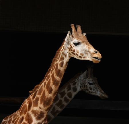 Close up of a giraffe with black background Фото со стока