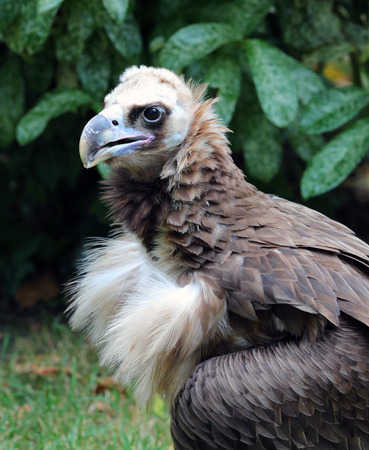 Close up of a Cinereous Vulture