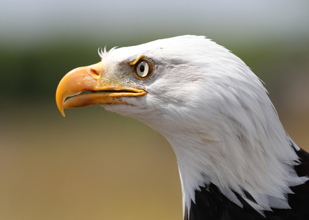 Close up of a Bald Eagle Staring