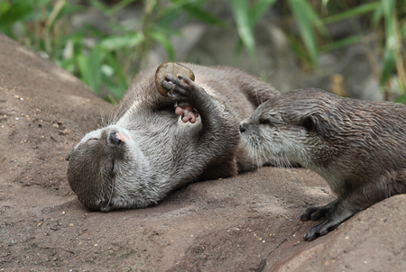 Oriental Short Clawed Otter playing with a pebble Фото со стока