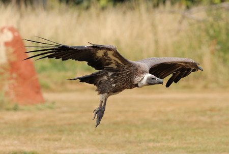 Close up of an African White-backed Vulture in flight Фото со стока - 106960723
