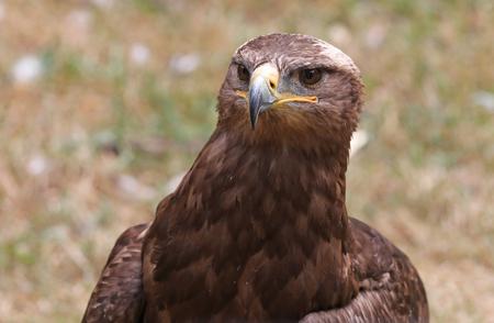Close up of a Steppe Eagle Фото со стока