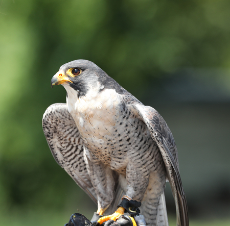 Portrait of a Peregrine Falcon 免版税图像