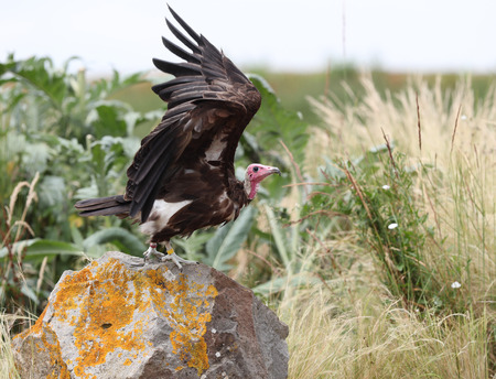 Close up of a White-headed Vulture in flight Фото со стока - 106960727