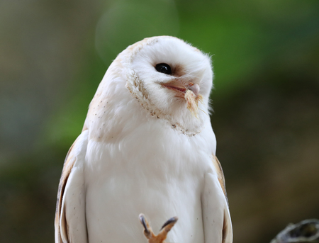Close up of a Barn Owl enjoying a meal Фото со стока - 106960729