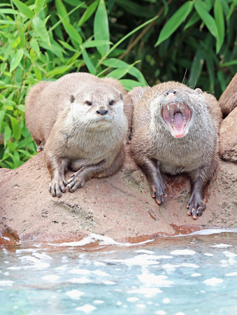 Two Oriental Short Clawed Otters sitting on a rock Фото со стока - 106960736