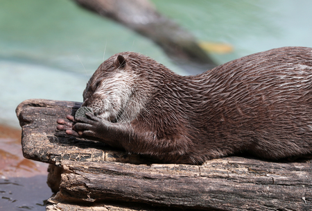 Close up of an Oriental Short Clawed Otter