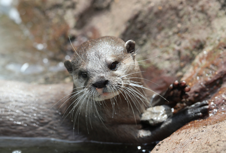 Close up of an Oriental Short Clawed Otter Фото со стока - 106960744