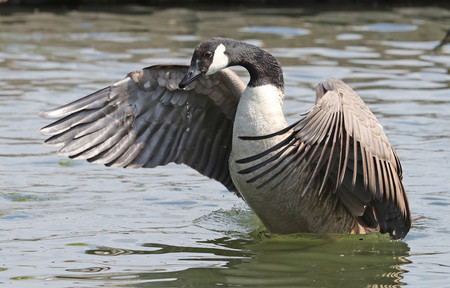 Close up of a Canada Goose flapping his wings Фото со стока - 106960746