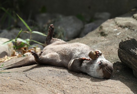 Oriental Short Clawed Otter playing with a pebble Stock Photo