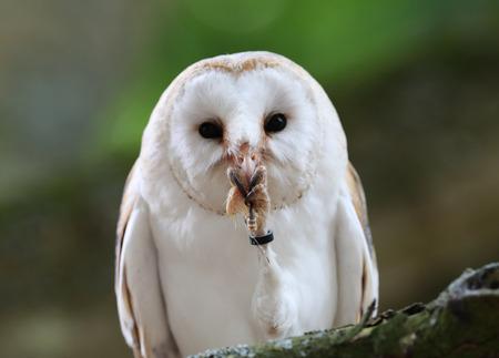 Close up of a Barn Owl enjoying a meal Stock Photo