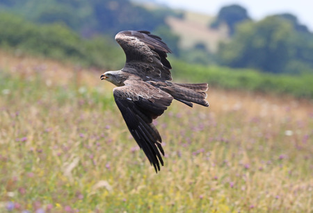 Close up of a Yellow Billed Kite in flight Stock Photo