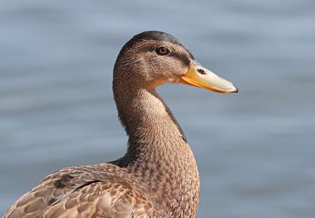 Portrait of a female Mallard Duck
