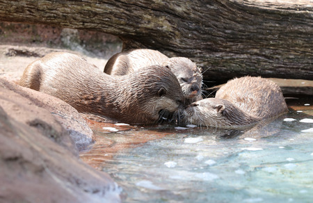 Oriental Short Clawed Otters cuddling and playing Фото со стока - 106960769