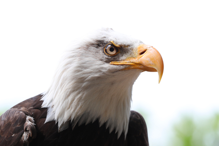 Close up of a Bald Eagle Staring Фото со стока - 106960770