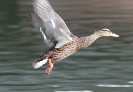 Female Mallard Duck in flight Фото со стока - 106960773