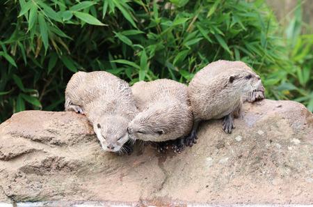 Three Oriental Short Clawed Otters sitting on a rock Фото со стока