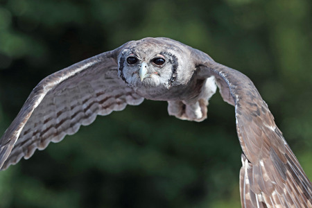 Close up of a Verreaux's Eagle Owl in flight flying head on Фото со стока - 115907307