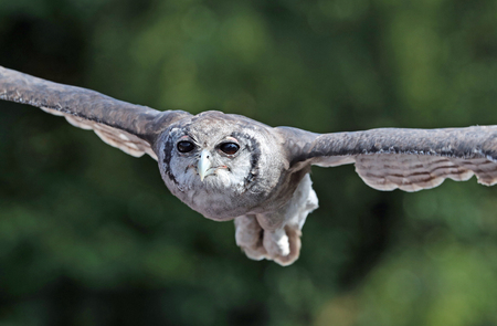 Close up of a Verreauxs Eagle Owl in flight flying head on