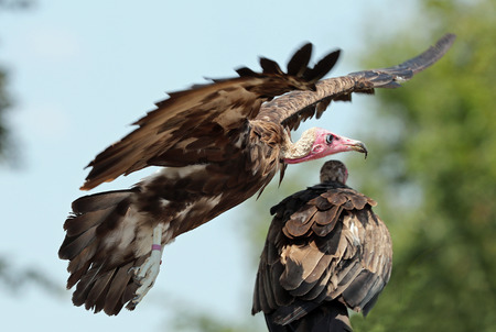 Close up of a White-headed Vulture in flight Stock Photo