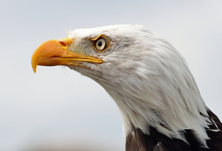 Close up of a male American Bald Eagle Stock Photo