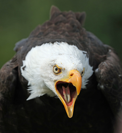Close up of an American Bald Eagle calling