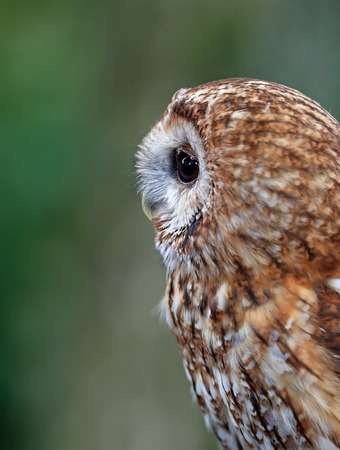 Close up of a Tawny Owl in woodland