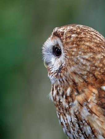Close up of a Tawny Owl in woodland Фото со стока - 115907318