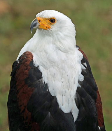 close up head and shoulders of an African Sea Eagle