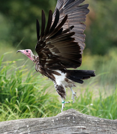 Close up of a white headed vulture taking off