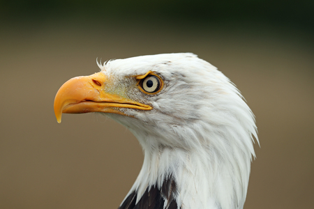Portrait of a Bald Eagle 写真素材 - 119375158