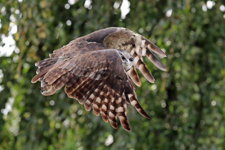 Close up of a verreaux's eagle owl in flight Фото со стока - 119375160