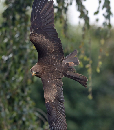 Close up of a Black Kite in flight