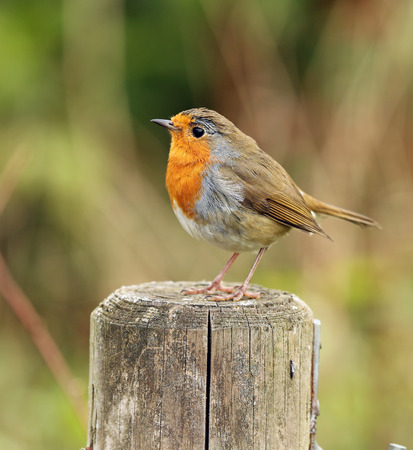 Close up of a Robin on a fence post