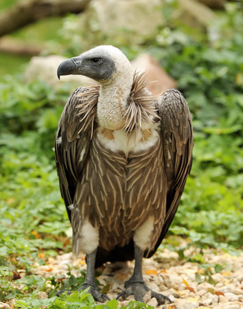 Portrait of an African White-Backed Vulture