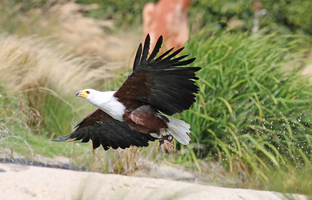 Close up of an African Sea Eagle in flight catching food