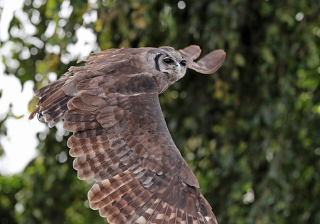 Close up of a verreauxs eagle owl in flight