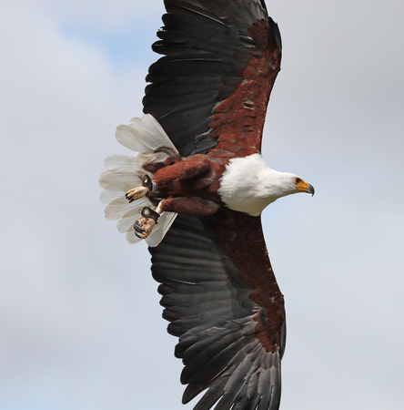 Close up of an African Sea Eagle in flight