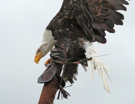 Close up of an American Bald Eagle landing