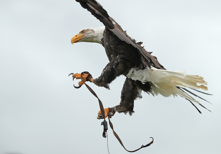Close up of an American Bald Eagle in flight