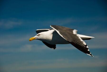 Wake Riding Gull