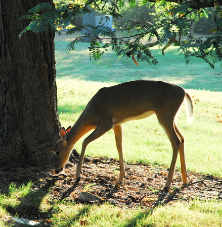 young female deer grazing in old cemetery photo