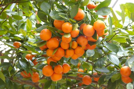 clusters of oranges citrus among bright green leaves